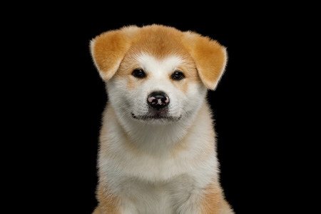 Portrait of Cute Akita Inu Puppy with Spotted nose on Isolated Black Background, front view