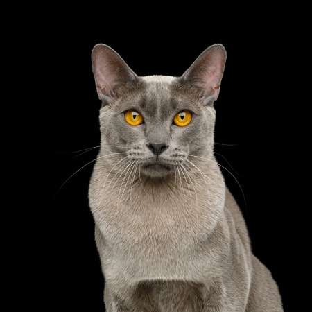 Portrait of Gray Cat Stare in Camera on isolated black background Reklamní fotografie