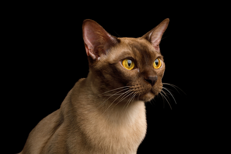 Close-up Portrait of Burmese Cat with Curious Gazing on isolated black background, profile view