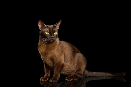 Brown Cat sitting and Gazing on isolated black background, side view, Sable Burmese
