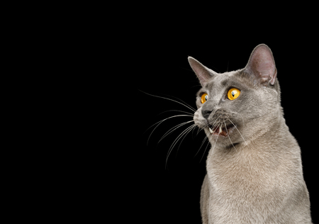 Funny Portrait of Amazement Gray Cat, opened mouth and stare at side on isolated black background 스톡 콘텐츠