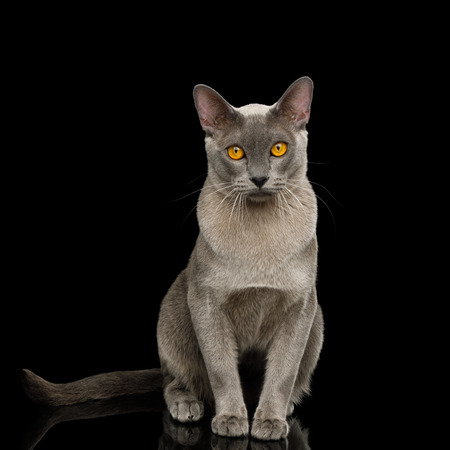 Adorable Cray Burmese Cat Sitting and Gazing on isolated black background, front view Reklamní fotografie