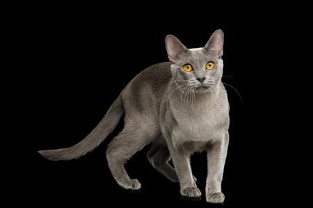 Gray Cat Burmese walk of full length on isolated black background, side view Reklamní fotografie - 121403912