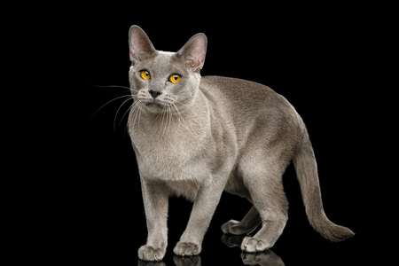 Gray Cat Burmese walk of full length with funny eyes on isolated black background, side view
