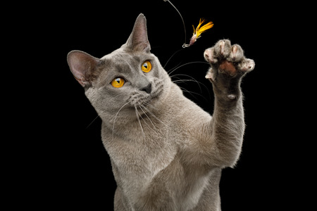 Portrait of Playful Gray Cat Raising paw with claw to catch toy on isolated black background Reklamní fotografie - 121403915