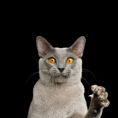 Portrait of Funny Gray Cat Raising paw with claw and Stare in Camera on isolated black background
