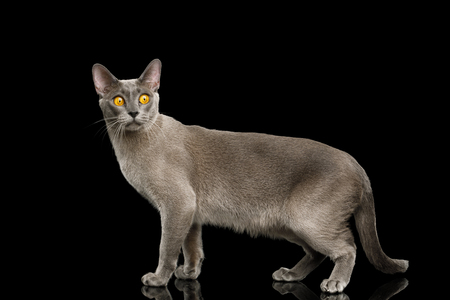 Funny Gray Cat Burmese walk of full length and curious stare with fear eyes on isolated black background, side view