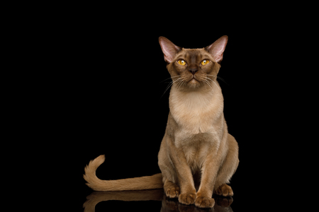 Adorable Chocolate Burmese Cat Sitting on isolated black background with reflection, front view Reklamní fotografie - 121403918