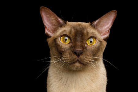 Portrait of Burmese Cat with Curious Gazing on isolated black background, front view