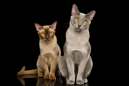 Two Burmese Cats Sitting and Looking in camera on isolated black background with reflection, front view