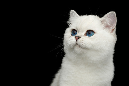 Portrait of British White Cat with blue eyes Looking at side on Isolated Black Background, front view