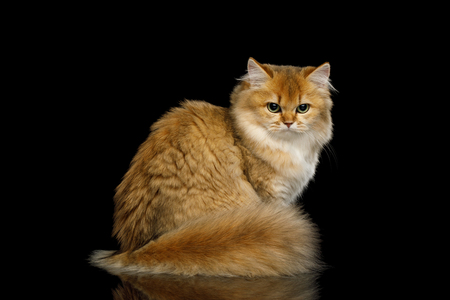 Angry British Red Cat with adorable Furry tail, angry looking back on Isolated Black Background