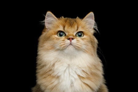 Portrait of British Red Cat with adorable green eyes on Isolated Black Background, front view Reklamní fotografie - 121403927