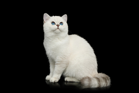 British White Cat with blue eyes Sitting and Stare up on Isolated Black Background, side view
