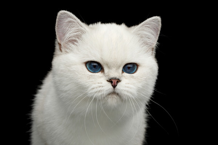 Portrait of British White Cat with blue eyes seek on Isolated Black Background, front view Reklamní fotografie - 121403930
