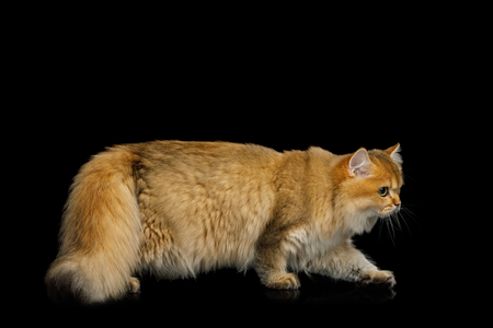 British Cat with adorable Red Fur walk on Isolated Black Background, side view, full length Reklamní fotografie - 121403931