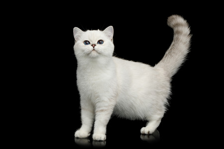 British White Cat with blue eyes Standing and Curious looking on Isolated Black Background, side view Reklamní fotografie