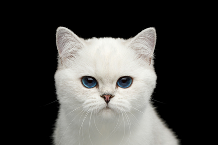 Close-up Portrait of British White Cat with blue eyes Angry gazing on Isolated Black Background, front view Reklamní fotografie