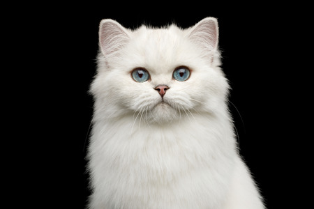 Portrait of British White Cat with blue eyes gazing on Isolated Black Background, front view Reklamní fotografie - 122183338