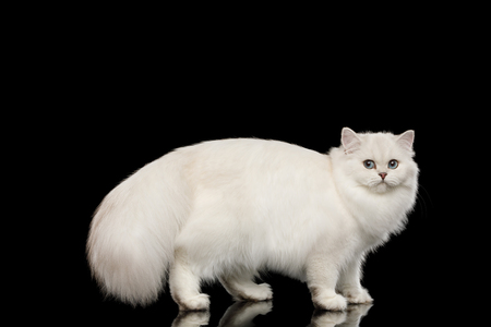 British White Cat with blue eyes standing with furry tail and turn back on Isolated Black Background, side view