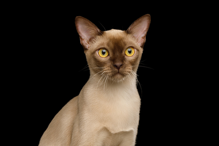 Portrait of Chocolate Burma Cat Stare in Camera isolated on black background, front view