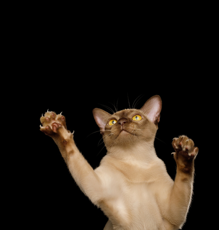 Funny Portrait of Playful Burmese Cat Raising up paws, isolated on black background