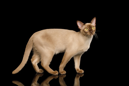 Cute Burmese Cat Standing and Looks Curious isolated on black background, side view