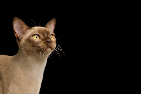 Close-up Portrait of Chocolate Burmese Cat Looking up isolated on black background, side view Reklamní fotografie - 122183456