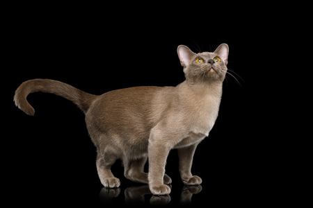 Playful Cat Standing and Looking up isolated on black background, front view