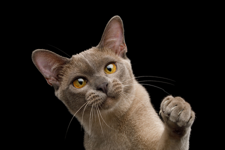 Cute Portrait of Playful Cat Raising up paw, isolated on black background, front view Reklamní fotografie - 122183458