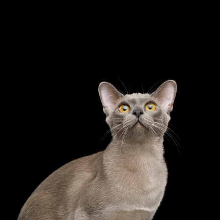 Portrait of Gray Cat Looking up, isolated on black background Reklamní fotografie