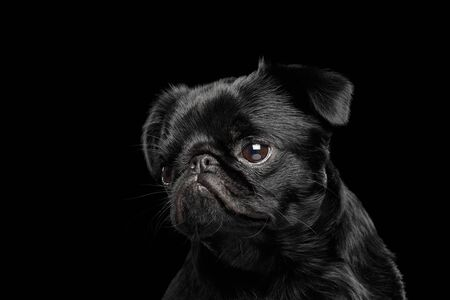 Portrait of petit brabanson dog looking with hope on isolated black background, front view Banco de Imagens