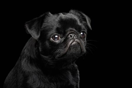Portrait of petit brabanson dog looking with hope on isolated black background, front view Banco de Imagens - 124669276
