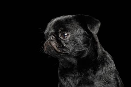 Portrait of petit brabanson dog looking with hope on isolated black background, profile view