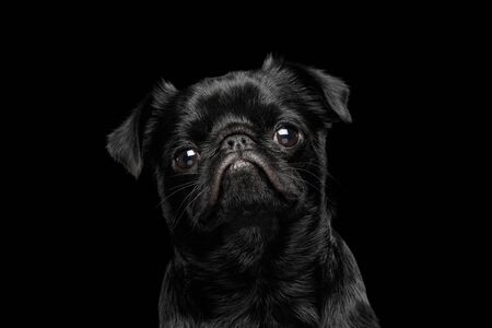Portrait of petit brabanson dog looks sad on isolated black background, profile view
