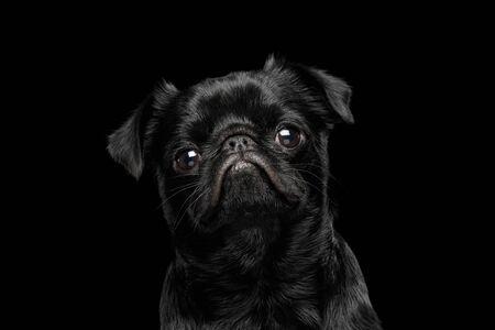 Portrait of petit brabanson dog looks sad on isolated black background, profile view Reklamní fotografie - 124669278