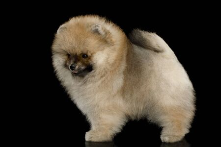 Groomed miniature Pomeranian Spitz puppy Standing on black background, side view Reklamní fotografie - 124785809
