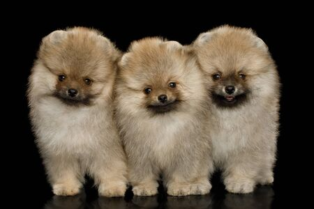 Three Groomed miniature Pomeranian Spitz puppies Standing on black background, front view