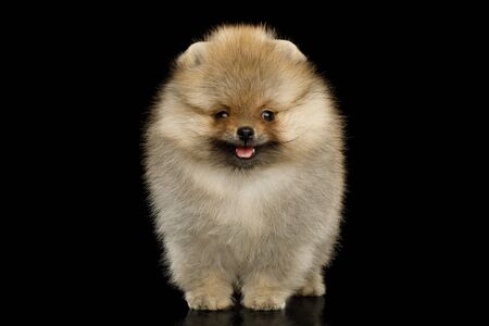 Groomed miniature Pomeranian Spitz puppy Standing on black background, front view