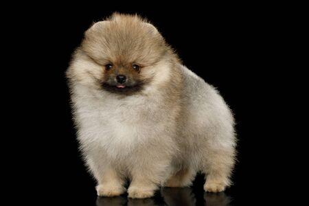 Groomed miniature Pomeranian Spitz puppy Standing on black background Reklamní fotografie - 124785814