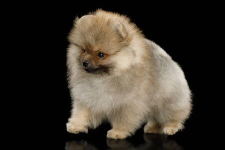 Groomed miniature Pomeranian Spitz puppy Standing on black background