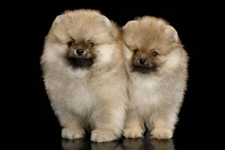 Two Groomed miniature Pomeranian Spitz puppies Standing on black background, front view Reklamní fotografie