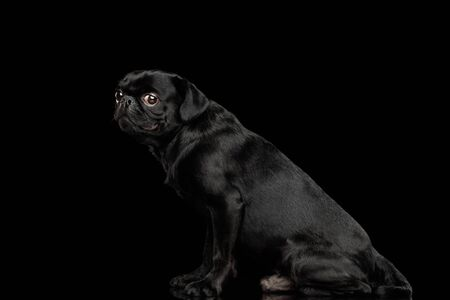 Gorgeous Petit Brabanson Dog Sitting and Looking at side on isolated black background, profile view 版權商用圖片