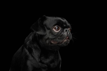 Portrait of Petit Brabanson Dog Looking at side on isolated black background, profile view