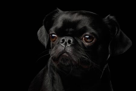 Gorgeous Portrait of Petit Brabanson Dog Looking at side on isolated black background, profile view Stock Photo