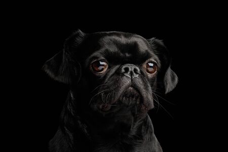 Portrait of Petit Brabanson Dog Stare in Camera on isolated black background, front view