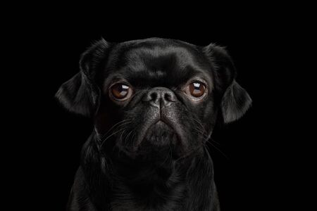 Portrait of Petit Brabanson Dog gazing with hope on isolated black background, front view Фото со стока