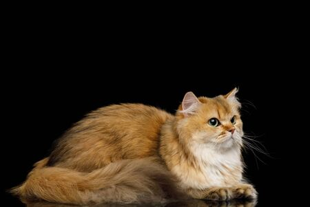 British Cat Red Chinchilla color with Furry tail Lying on Isolated Black Background, side view Stock Photo