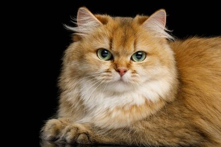 Close-up British Cat Red Chinchilla color with Green eyes Lying on Isolated Black Background, side view Stock Photo