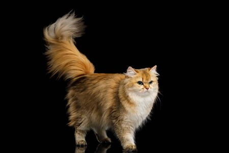 British Cat Red Chinchilla color with Furry Tail Walk on Isolated Black Background Stock Photo